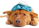 Отравление собаки: симптомы, первая помощь, лечение