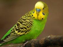 Что делать если отравился попугай