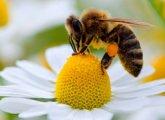 Пчелиный зелье — описание