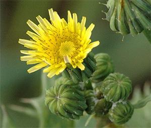 сорное растение