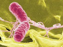 сальмонелла под микроскопом