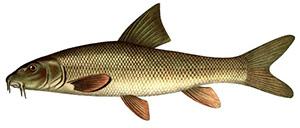 ядовитая рыба