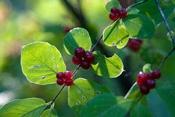 волчьи ягоды фото