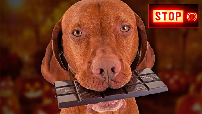 собака ест шоколад