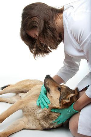 слабость — один из симптомов отравления собаки