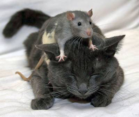 кот и крысиный яд