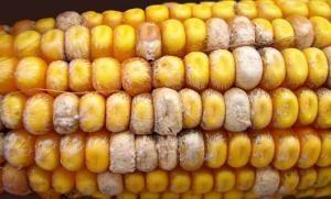 кукуруза-источник микотоксин