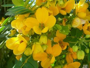 листья сенны для чистки кишечника