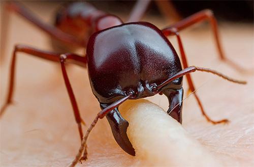 укус муравья фото поражения кожи