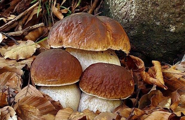 белый гриб характеристики