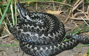 виды ядовитых змей на территории России