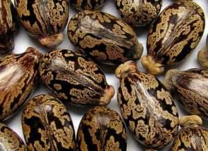 семена клещевины фото