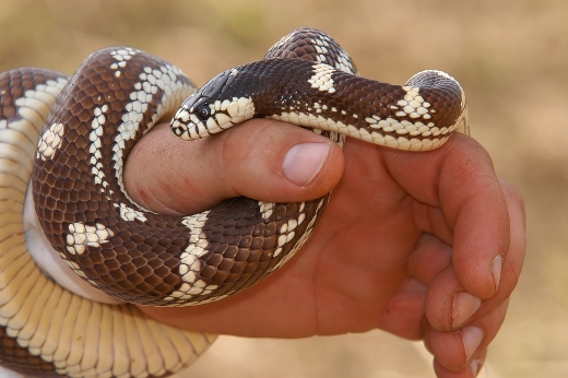 как выглядит укус змеи