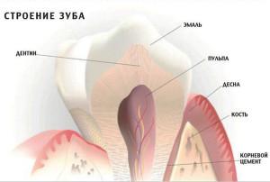 Как выглядит зуб изнутри