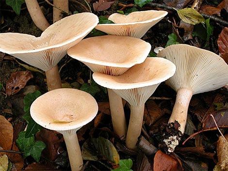 грибы говорушки фото