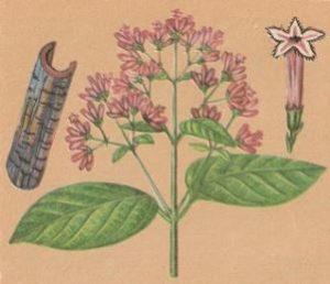 рисунок хинного дерева — веточки, коры, цветка