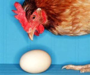 курица и яйцо