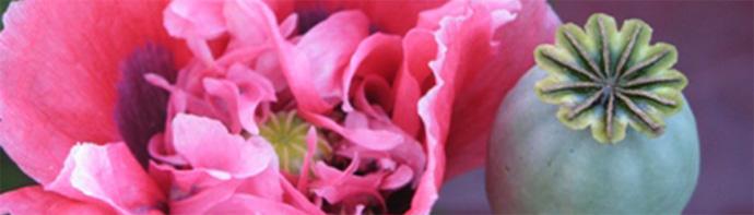 цветок мак и его головка
