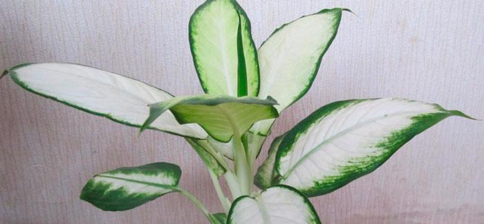 цветок диффенбахия — белое пламя