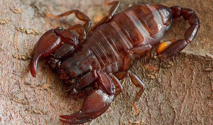 мингрельский скорпион