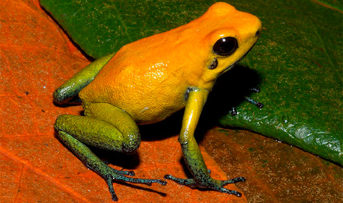 Двухцветный листолаз
