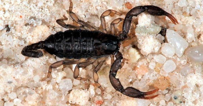 итальянский скорпион