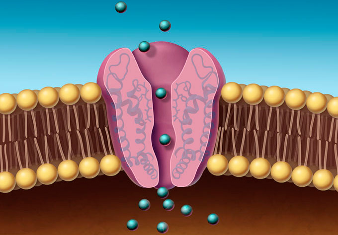 проницаемость клеточных мембран
