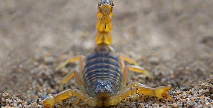пёстрый скорпион