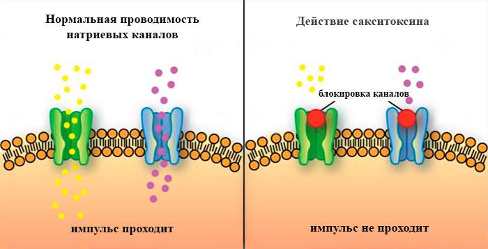 сакситоксин механизм действия