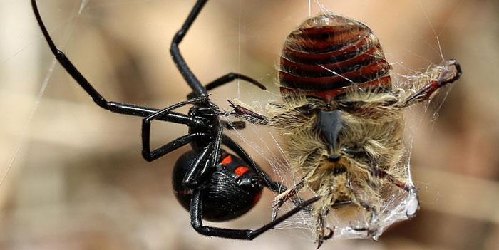 паук каракурт