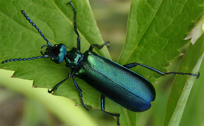 носитель кантаридина жук-нарывник