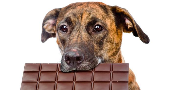 собака держит в пасти плитку шоколада